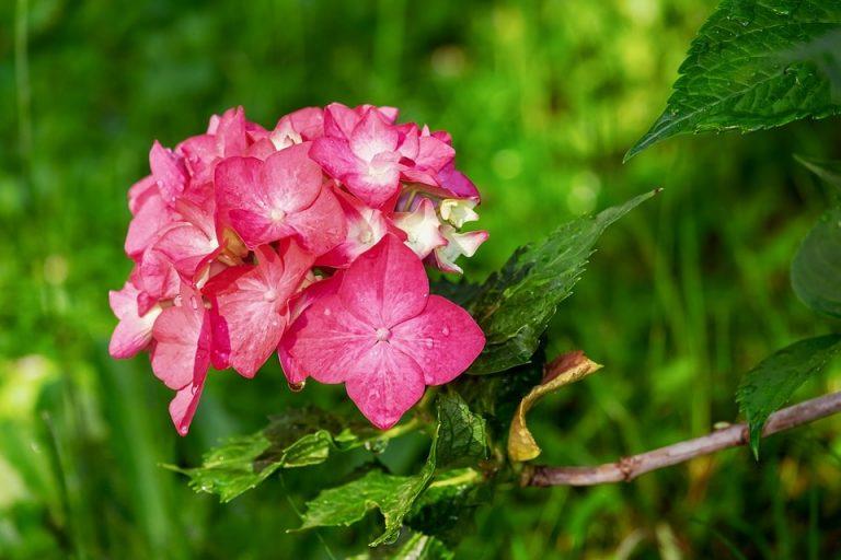 Kerti növény a cserjés hortenzia
